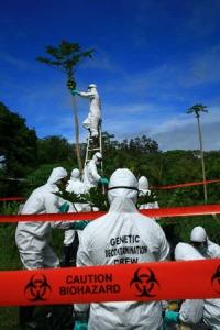 Anti-GE activists vandalize papaya (need permission)