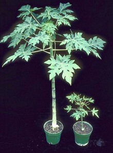 PRSV-resistant papaya on left and susceptible papaya on right